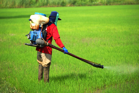unprotected: Farmers were spraying herbicides in rice field. Stock Photo