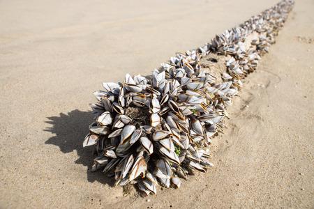 barnacles: Collo d'oca barnacles sulla spiaggia.