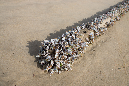 barnacles: Gooseneck barnacles on the beach. Stock Photo
