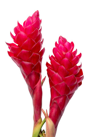 beautiful tropical red ginger flower.