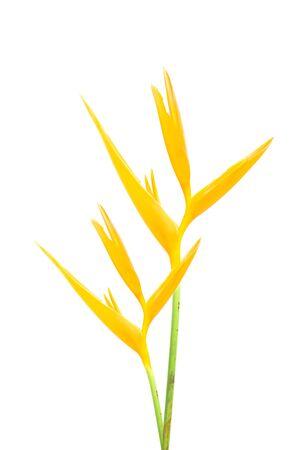 Heliconia : Golden Torch., Orange Torch. (H.psittacorum L.f. x H. spathocircinata Aristeguieta) blooming on white background. photo