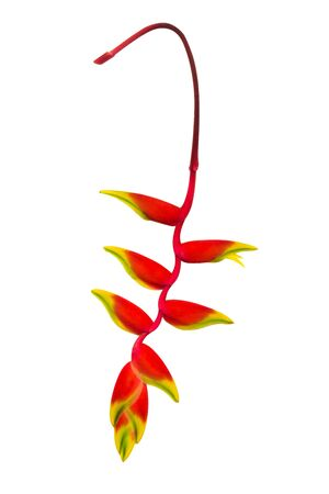heliconiaceae: Beautiful Heliconia (H. rostrata Ruiz & Pavon) blooming on white background.