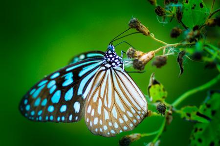 butterfly on flower. (Cethosia cyane) photo