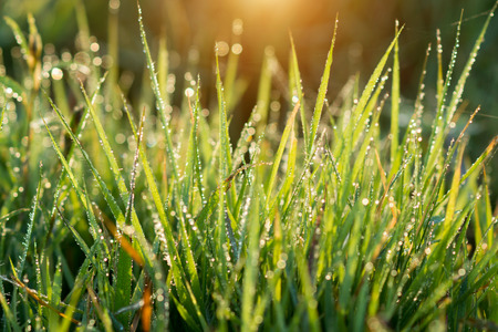 Fresh grass with dew drops in the morning. photo