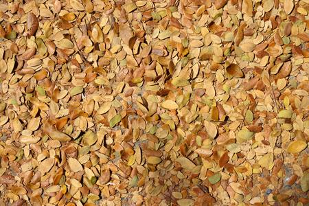 samanea saman: Dry leaves of Samanea saman trees Used for fertilizer and background.