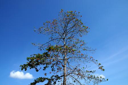 Tropical almond tree. photo