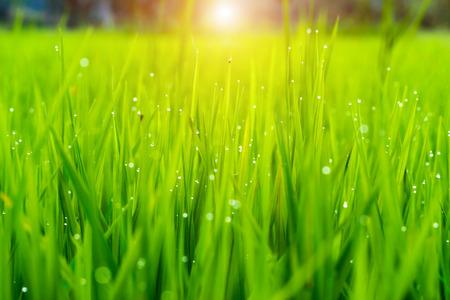 rice: planta de arroz en el campo de arroz con rocío de la gota.