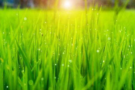 rice plant in rice field with drop dew.