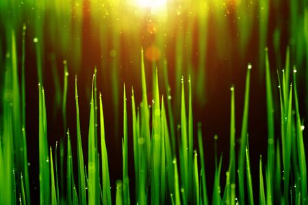 rice plant in rice field with drop dew. photo
