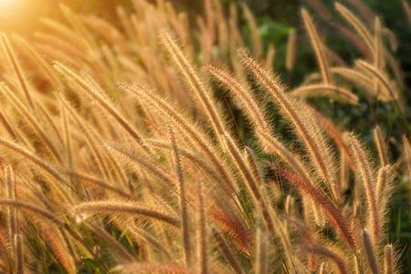 Flower grass impact sunlight. (Penisetum polystachyon (L.) Schult.) photo