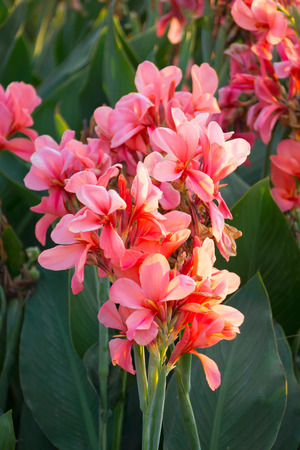 indica: pink canna indica flower Stock Photo
