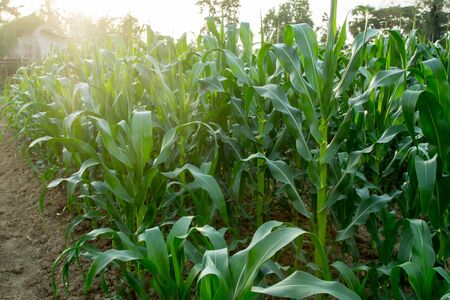 non cultivated: corn field close-up at the sunset Stock Photo