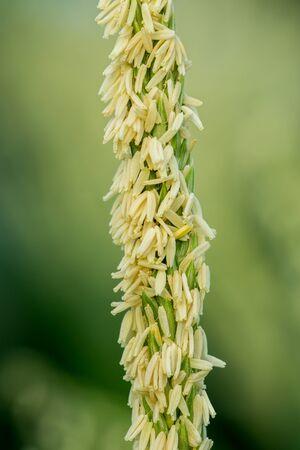 corn flower: Corn flower.