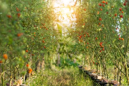 tomate de arbol: Tomate en árboles