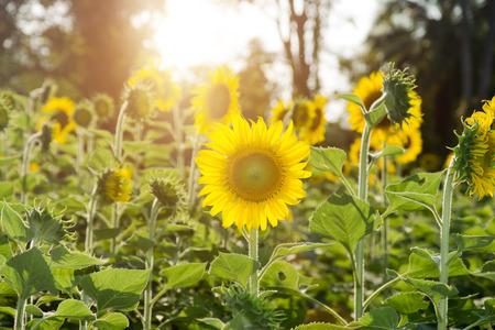 Sunflower in the garden And sunlight photo