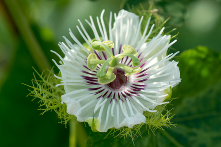 passiflora: Fetid passionflower, Scarletfruit passionflower, Stinking passionflower (Passiflora foetida)