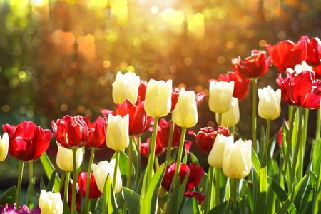 colorful tulips, tulips in spring photo