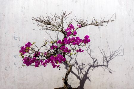 Bougainvillea flower and wall. photo