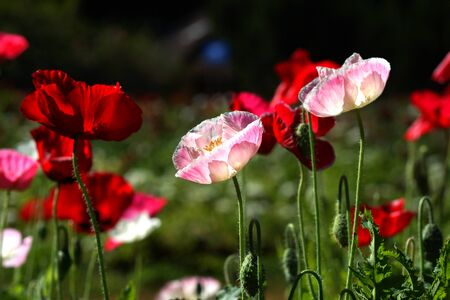 Poppy flowers in the garden photo
