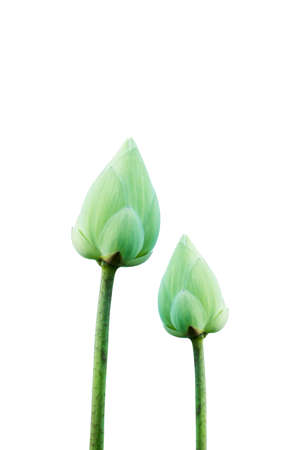 nelumbo: Blooming Lotus flower (Nelumbo nucifera). Stock Photo