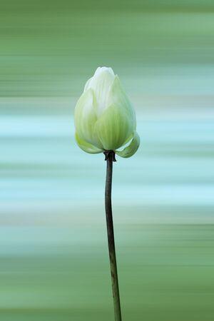 nucifera: Blooming Lotus flower (Nelumbo nucifera). Stock Photo