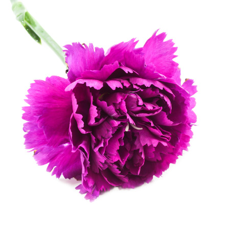 carnations: Carnations on white Stock Photo