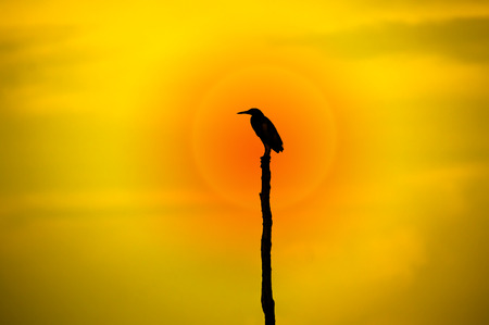 brown throated: Silhouettes of Birds perch on a tree stump middle of the lake. Thailand.