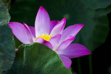 calyxes: beautiful lotus flower in blooming Behind leaves Stock Photo