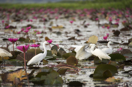 white bird: White Bird in nature and water lily.