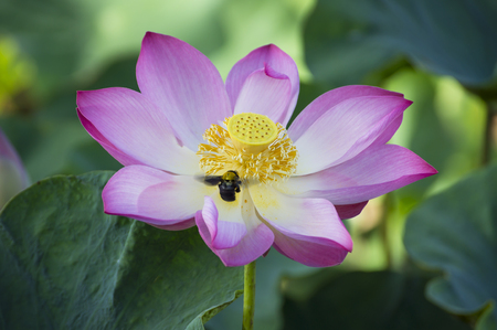 lotiform: Bumble Bee and lotus flower in blooming Stock Photo