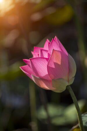calyxes: beautiful lotus flower in blooming Stock Photo