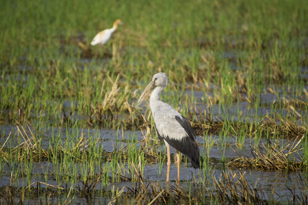 oscitans: Asian Openbill or Asian Openbill Stork (Anastomus oscitans) in nature Stock Photo