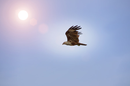 brown throated: Falcon, flying in the sky at sunrise. Stock Photo