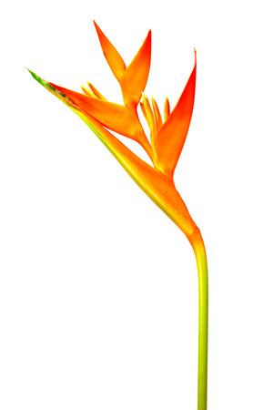 heliconiaceae: Heliconia : Golden Torch., Orange Torch. (H.psittacorum L.f. x H. spathocircinata Aristeguieta) blooming on white background.