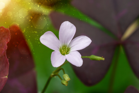 Close up of False Shamrock flower. (Oxalis triangularis.) photo