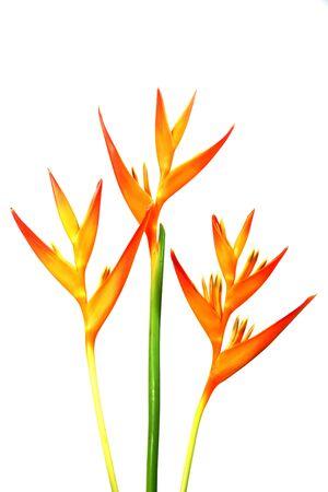h: Heliconia : Golden Torch., Orange Torch. (H.psittacorum L.f. x H. spathocircinata Aristeguieta) blooming on white background.