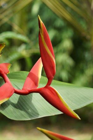 heliconiaceae: Beautiful Heliconia (H. rostrata Ruiz & Pavon) blooming on tree