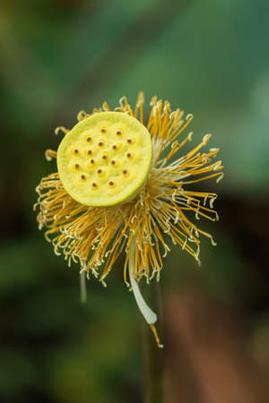 lotiform: Lotus pollen Stock Photo