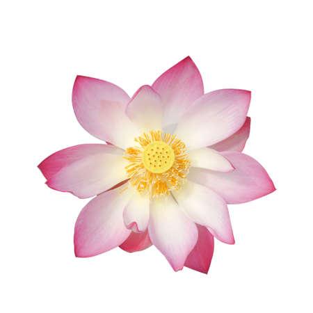 effloresce: beautiful lotus flower in blooming Stock Photo