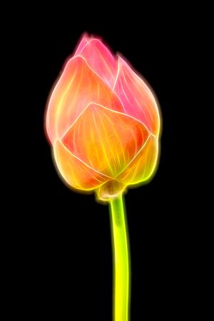 Glow image of pink lotus flower blooming photo