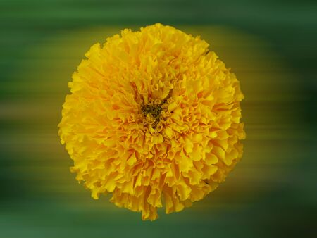 african marigold: Marigold (Tagetes erecta, Mexican marigold, Aztec marigold, African marigold)