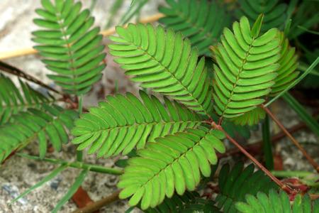 sensitive: leaf of sensitive plant (mimoza)