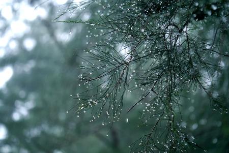 kropla deszczu: Unfocus image of Beautiful Rain drops on pine leaves with raining day.