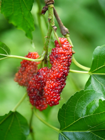 blackberry bush: Berry fruit in nature, mulberry twig Stock Photo