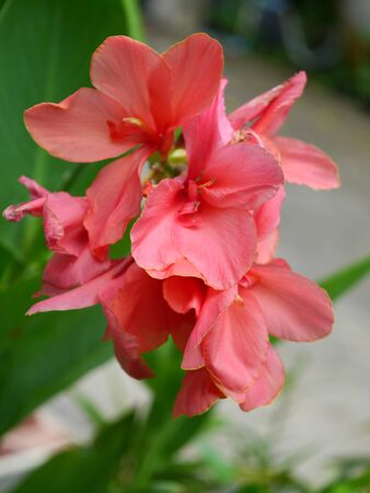colic: Pink Indian shot flower