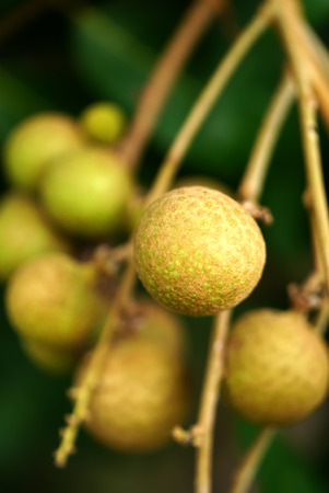 orchards: Longan orchards -Tropical fruits longan in Thailand