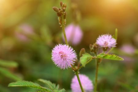 sensitive: Beautiful blooming pink flower of sensitive plant (mimoza)
