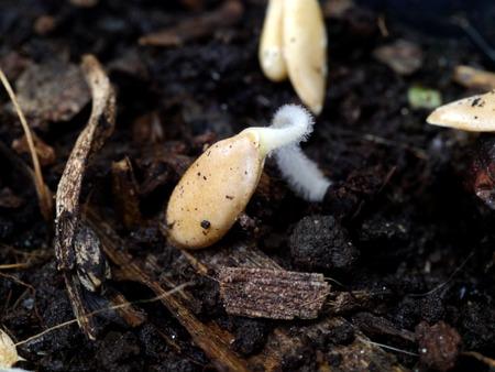 germinaci�n: La germinaci�n de semillas de mel�n