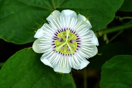 passion flower: Blooming white Passion Flower