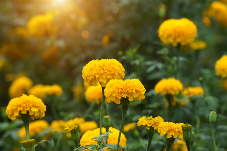 Marigolds in the garden with sunlight. (Tagetes erecta, Mexican marigold, Aztec marigold, African marigold)